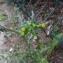 Senecio vulgaris L. [nn63096] par Groupe-Étude GENTIANA le 03/04/2018 - Grenoble