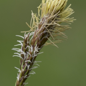 Photographie n°2156585 du taxon Carex flacca Schreb. [1771]