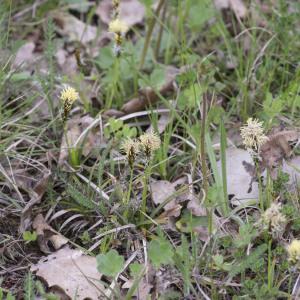 Photographie n°2156590 du taxon Carex flacca Schreb. [1771]