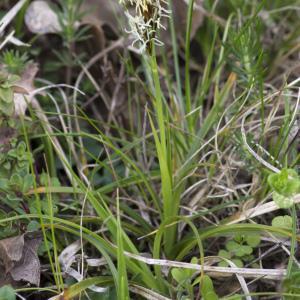 Photographie n°2156591 du taxon Carex flacca Schreb. [1771]