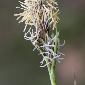Photographie n°2156592 du taxon Carex flacca Schreb. [1771]