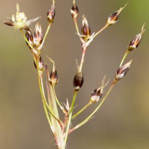 Photographie n°2156640 du taxon Luzula forsteri (Sm.) DC.