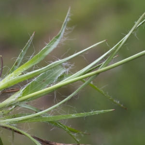 Photographie n°2156641 du taxon Luzula forsteri (Sm.) DC.