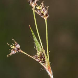 Photographie n°2156642 du taxon Luzula forsteri (Sm.) DC.