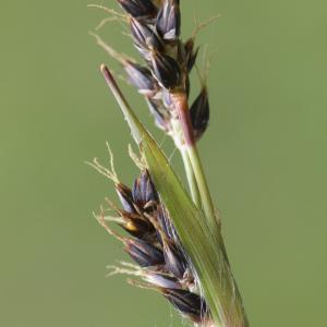 Photographie n°2156646 du taxon Luzula forsteri (Sm.) DC.