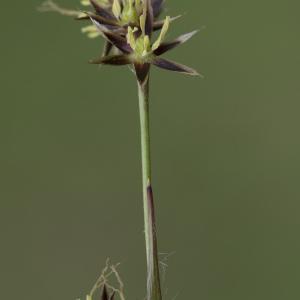 Photographie n°2156648 du taxon Luzula forsteri (Sm.) DC.