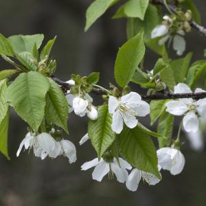 Photographie n°2156667 du taxon Prunus avium (L.) L. [1755]