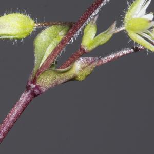 Photographie n°2156679 du taxon Stellaria media (L.) Vill. [1789]