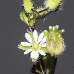 Photographie n°2156680 du taxon Stellaria media (L.) Vill. [1789]