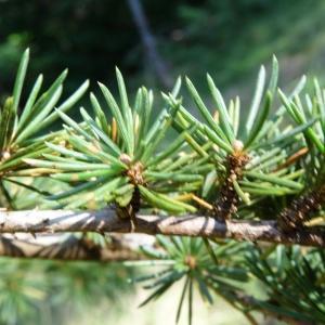 Photographie n°2156782 du taxon Cedrus libani var. libani