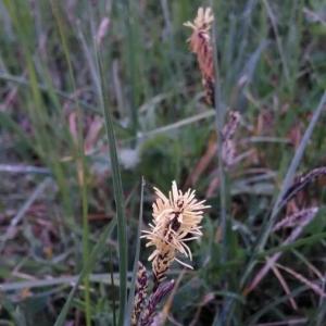 Photographie n°2156925 du taxon Carex flacca Schreb. [1771]