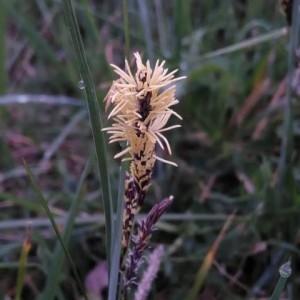 Photographie n°2156926 du taxon Carex flacca Schreb. [1771]