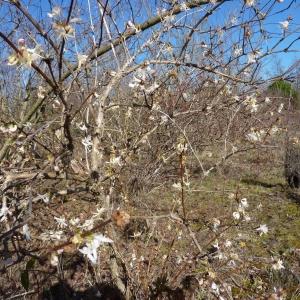 Photographie n°2157652 du taxon Lonicera fragrantissima Lindl. & Paxton