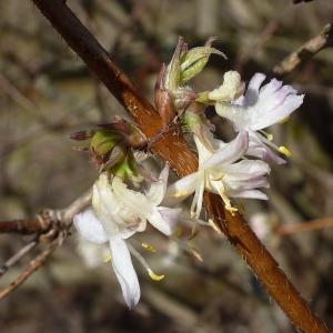 Photographie n°2157653 du taxon Lonicera fragrantissima Lindl. & Paxton