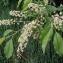 La Spada Arturo - Prunus serotina Ehrh.