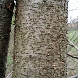 - Prunus serotina Ehrh.