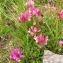 La Spada Arturo - Trifolium alpinum L.