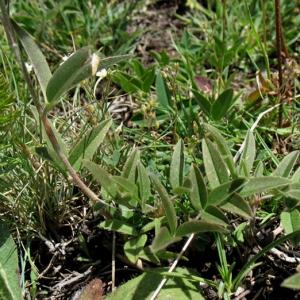Photographie n°2157766 du taxon Trifolium alpestre L. [1763]