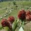 La Spada Arturo - Trifolium alpestre L. [1763]