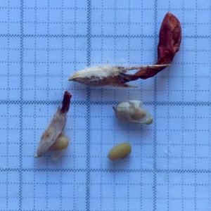 Photographie n°2157769 du taxon Trifolium alpestre L. [1763]