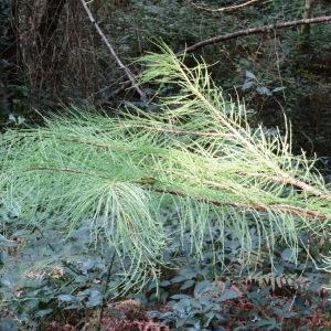 - Taxodium ascendens Brongn.
