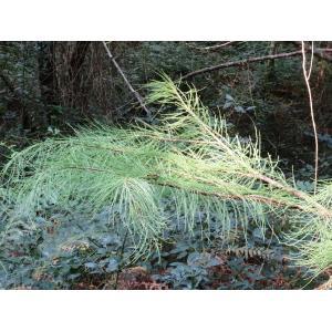 Taxodium ascendens Brongn. [1833] (Cyprès des étangs)