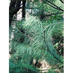 Taxodium ascendens Brongn. (Cyprès des étangs)