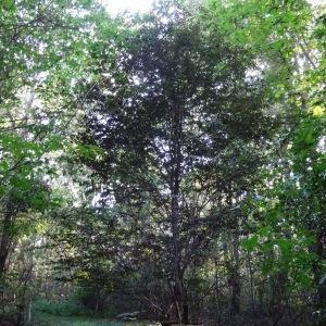 Photographie n°2157788 du taxon Fagus sylvatica L.