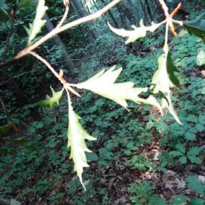 Photographie n°2157799 du taxon Fagus sylvatica L.