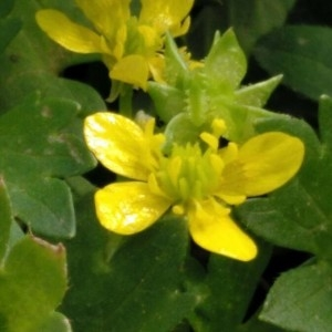 Photographie n°2157876 du taxon Ranunculus muricatus L. [1753]