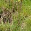 La Spada Arturo - Tragopogon pratensis subsp. pratensis