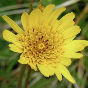 - Tragopogon pratensis subsp. pratensis