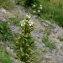 La Spada Arturo - Thesium alpinum L. [1753]