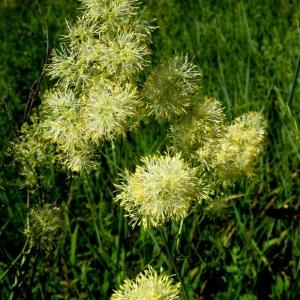 Thalictrum flavum L. (Pigamon des rives)