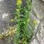 La Spada Arturo - Erysimum cheiranthoides L. [1753]