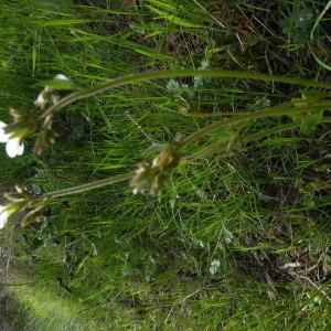 Photographie n°2158019 du taxon Saxifraga granulata L.
