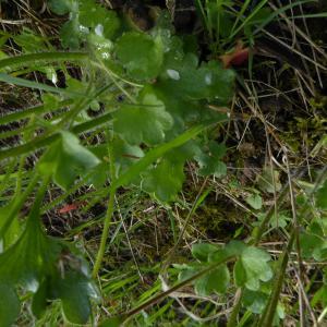 Photographie n°2158020 du taxon Saxifraga granulata L.