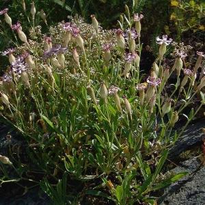 Photographie n°2158134 du taxon Silene vallesia L. [1759]