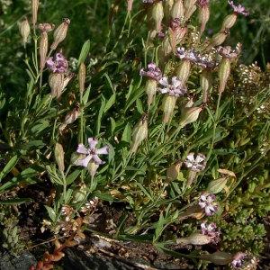 Photographie n°2158137 du taxon Silene vallesia L. [1759]