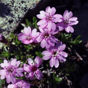 Silene acaulis subsp. cenisia Killias [1888] (Silène du mont Cenis)