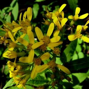 Senecio ovatus (P.Gaertn., B.Mey. & Scherb.) Willd. [1803] (Séneçon de Fuchs)