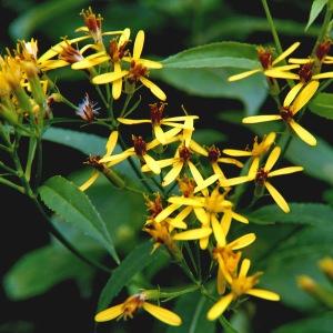 Senecio ovatus subsp. alpestris (Gaudin) Herborg (Séneçon alpestre)