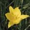 La Spada Arturo - Tulipa sylvestris L.