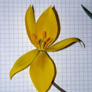 Tulipa sylvestris L. (Tulipe des bois)