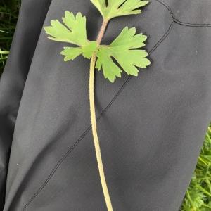 Photographie n°2158320 du taxon Ranunculus bulbosus L. [1753]