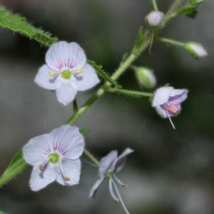 Veronica urticifolia Jacq. (Véronique à feuilles d'ortie)