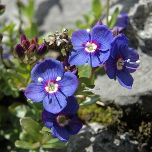 Veronica fruticans Jacq. (Véronique buissonnante)
