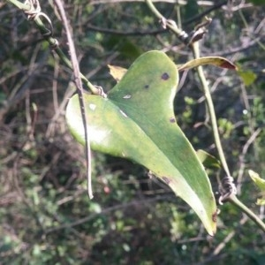 Photographie n°2159329 du taxon Smilax aspera L. [1753]