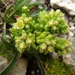 Sedum atratum subsp. carinthiacum (Hoppe ex Pacher) D.A.Webb