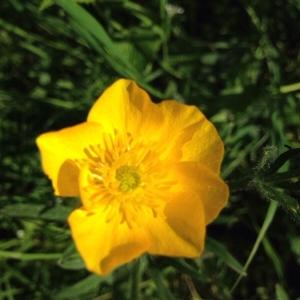 Photographie n°2160306 du taxon Ranunculus bulbosus L. [1753]
